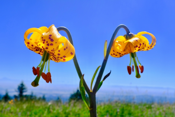 tiger lilies blooming