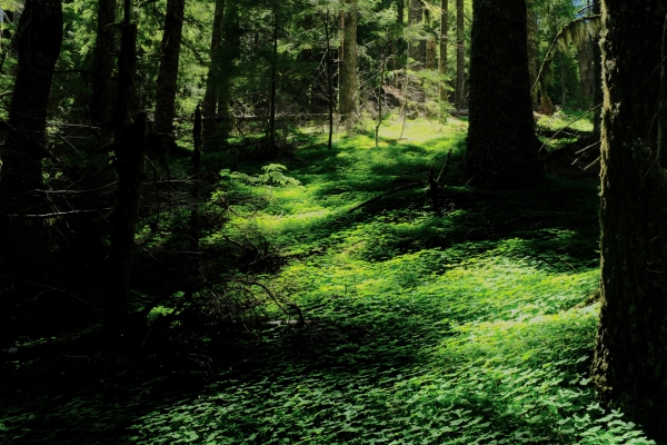 Forest with green undergrowth