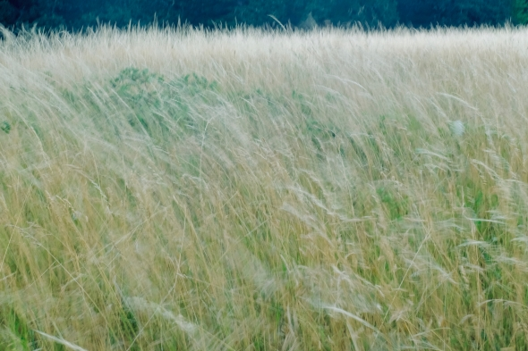 Meadow grasses blowing in the wind