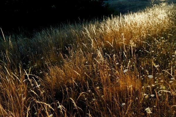 Golden grasses in evening sun