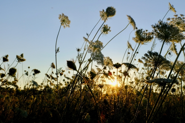 Queen Anne's Lace and Setting Sun