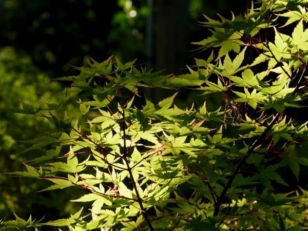 Japaness maple leaves