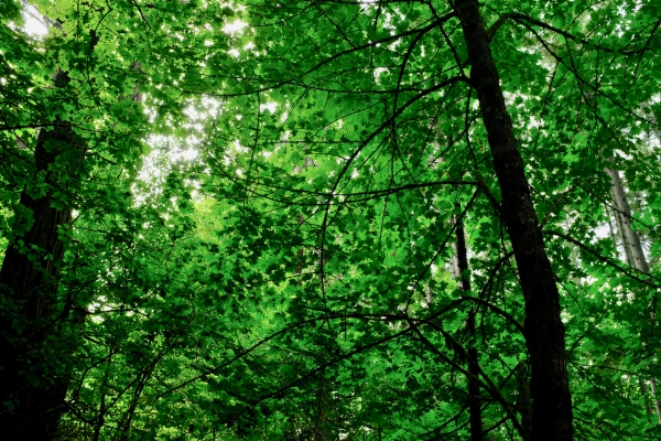 Maple leaves in forest