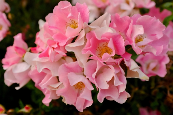 clusterrpink and white roses