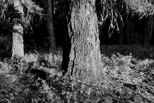 Large tree trunk