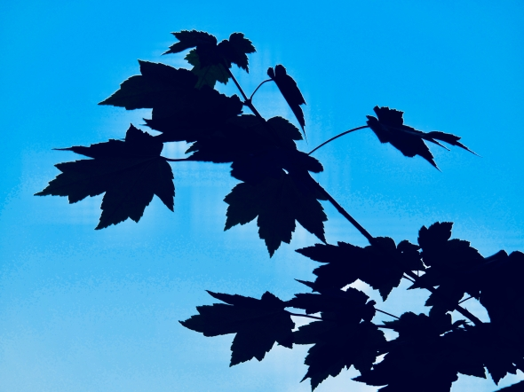 Maple leaves in silhouette