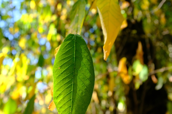 green and yellow osoberry leaves