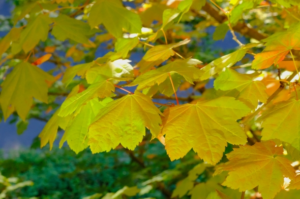 Yellow vine maple leaves