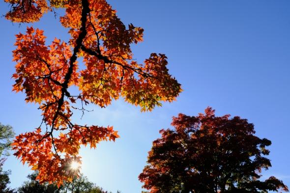 Orange sugar maple leaves