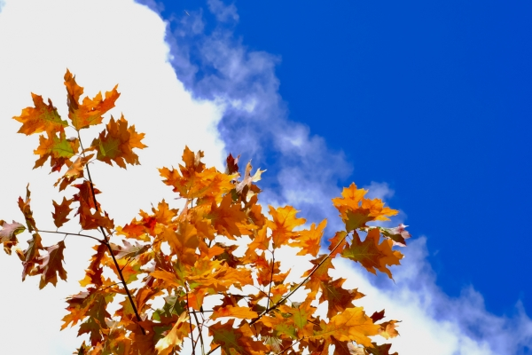 Oak leaves and sky