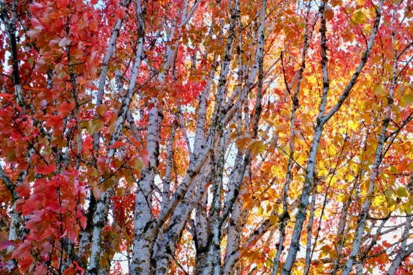 Red and orange maple leaves and white trunks